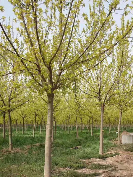 金叶复叶槭5