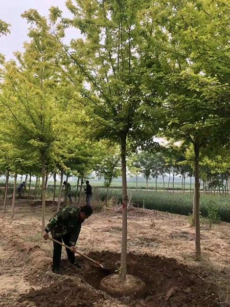 金叶复叶槭2