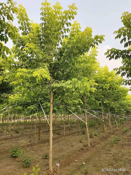 金叶复叶槭6
