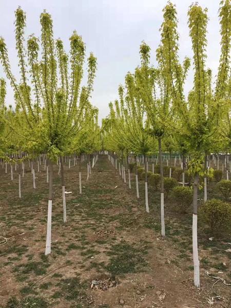 金叶复叶槭3
