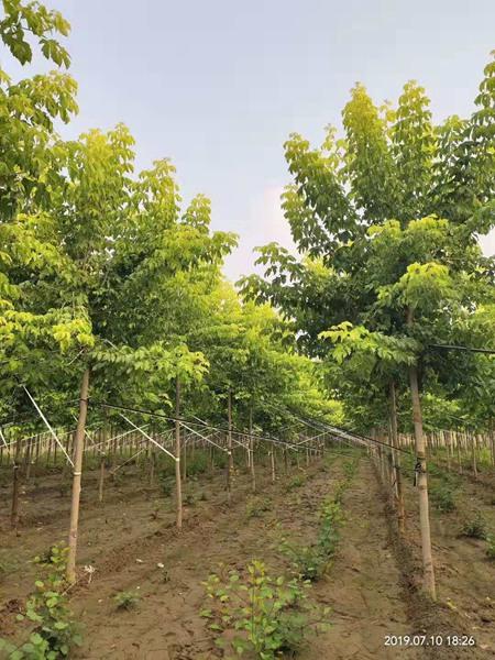 金叶复叶槭7